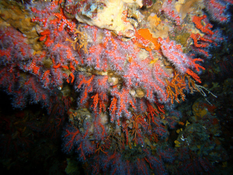 Corallo Rosso Capo Linaro